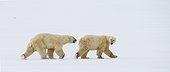 Deux ours polaires dans la toundra, Canada