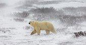 Polar bear sitting in the snow on the tundra. Canada. Churchill