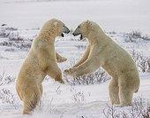 Deux ours polaires jouant dans la toundra, Canada