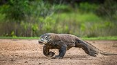 Komodo dragon runs along the ground. Very rare photo.