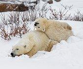 Deux ours polaire jouant dans la toundra, Canada