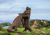 Two Komodo Dragons are fighting each other. Very rare picture.