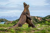 Komodo Dragons are fighting each other. Very rare picture. Indonesia