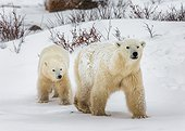 Polar bear with a cub in the tundra. Canada.