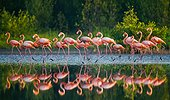 Group of the Caribbean flamingo standing in water with reflections