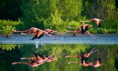 Caribbean flamingos flying over water with reflection. Cuba. Reserve Rio Maximo