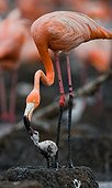 Caribbean flamingo on a nest with chick. Cuba.