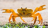 Land crab has placed its claws. Unusual angle. Cuba.