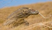 Portrait of Komodo Dragon. Close-up. Indonesia. Komodo