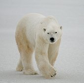 A polar bear on the tundra. Snow. Canada.