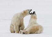 Two polar bears playing with each other in the tundra. Canada