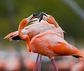 Game two adults of the Caribbean flamingo. Cuba. Reserve Rio Maximo