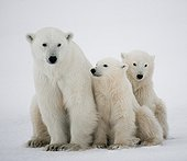 Polar bear with a cubs in the tundra. Canada.