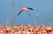 The largest colony of the Caribbean flamingo. Reserve Rio Maximo