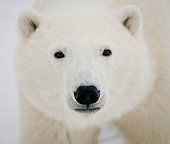 Portrait of a polar bear. Close-up. Canada.