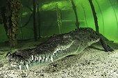 American Crocodile (Crocodylus acutus), Gardens of the Queen, Cuba