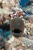 Giant Moray, Gymnothorax javanicus, Red Sea, Dahab, Egypt