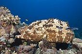 Flowery Grouper beeing cleaned, Epinephelus fuscoguttatus, Red Sea, Ras Mohammed, Egypt