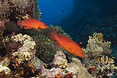 Coral Grouper, Cephalopholis miniata, Red Sea, Ras Mohammed, Egypt