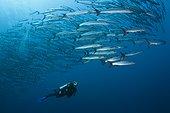 Plongeur et banc de Barracudas à nageoires noires dans le bleu, Mer Rouge, Shaab Rumi, Egypte