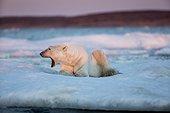 Adult male Polar Bear (Ursus maritimus) yawns while resting on drifting pack ice near mouth of Wager Bay and Ukkusiksalik National Park, Nunavut Territory, Canada