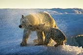 Polar Bear and Cub (Ursus maritimus) shakes off water from boat after swimming near Harbour Islands, Repulse Bay, Nunavut Territory, Canada