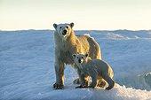 Polar Bear and Cub (Ursus maritimus) standing on sea ice at sunset near Harbour Islands, Repulse Bay, Nunavut Territory, Canada