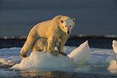 Polar Bear Cub (Ursus maritimus) by mother while standing on sea ice near Harbour Islands, Repulse Bay, Nunavut Territory, Canada