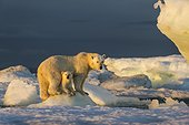 Polar Bear Cub (Ursus maritimus) beneath mother while standing on sea ice near Harbour Islands, Repulse Bay, Nunavut Territory, Canada
