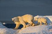 Polar Bear Cub (Ursus maritimus) walking with mother across sea ice near Harbour Islands, Repulse Bay, Nunavut Territory, Canada