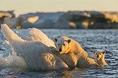 Polar Bear and young cub (Ursus maritimus) cling to melting sea ice at sunset near Harbour Islands, Repulse Bay, Nunavut Territory, Canada
