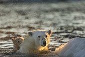 Polar Bear (Ursus maritimus) shakes off water from boat while swimming in sea ice near Harbour Islands, Repulse Bay, Nunavut Territory, Canada