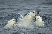 Polar Bear and young cubs (Ursus maritimus) swimming near Harbour Islands, Repulse Bay, Nunavut Territory, Canada