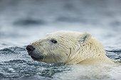 Polar Bear (Ursus maritimus) swimming near Harbour Islands, Repulse Bay, Nunavut Territory, Canada