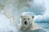 Polar Bear (Ursus maritimus) swimming through melting sea ice near Harbour Islands, Repulse Bay, Nunavut Territory, Canada