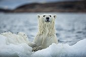 Polar Bear (Ursus maritimus) holding onto melting sea ice near Harbour Islands, Repulse Bay, Nunavut Territory, Canada