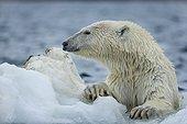 Polar Bear (Ursus maritimus) climbing onto melting sea ice near Harbour Islands, Repulse Bay, Nunavut Territory, Canada