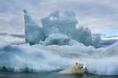 Polar Bear (Ursus maritimus) climbing onto melting iceberg near Harbour Islands, Repulse Bay, Nunavut Territory, Canada