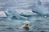 Polar Bear (Ursus maritimus) swimming near melting iceberg near Harbour Islands, Repulse Bay, Nunavut Territory, Canada