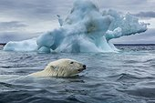 Polar Bear (Ursus maritimus) swimming past melting iceberg near Harbour Islands, Repulse Bay, Nunavut Territory, Canada