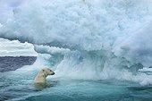 Underwater view of Polar Bear (Ursus maritimus) swimming near Arctic Circle along Hudson Bay, Nunavut Territory, Canada,