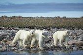 Polar Bear (Ursus maritimus) walking with second- year cubs along rocky coastline of Hudson Bay near Arctic Circle, Repulse Bay, Nunavut Territory, Canada