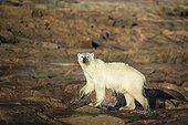 Polar Bear (Ursus maritimus) walking along shorelines after swimming in Hudson Bay at sunrise near Arctic Circle, Repulse Bay, Nunavut Territory, Canada