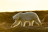 Setting midnight sun lights Polar Bear (Ursus maritimus) walking along rocky shoreline by Hudson Bay, Nunavut Territory, Canada