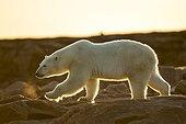 Setting midnight sun lights Polar Bear (Ursus maritimus) walking along rocky shoreline by Hudson Bay, Nunavut Territory, Canada
