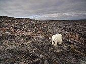 Aerial view of Polar Bear (Ursus maritimus) walking through rocky hills along Hudson Bay near Arctic Circle, Repulse Bay, Nunavut Territory, Canada