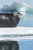 Bearded Seal (Erignathus barbatus) resting in summer sun on sea ice on Hudson Bay, Repulse Bay, Nunavut Territory, Canada