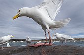 Glaucous-wing Seagull (Larus glaucescens) feeding on remains of Bearded Seal killed by Inuit hunters near Harbour Islands, Repulse Bay, Nunavut Territory, Canada