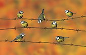 Blue tit (Cyanistes caeruleus), Tits perched on a barbed wire, England, Winter