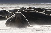 Grey seal (Halichoerus grypus), Grey seal in a sand storm, England, Winter